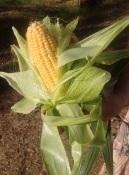 GFCG-Corn-s